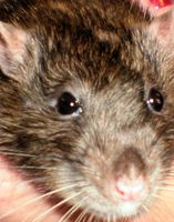 Pocket Pet