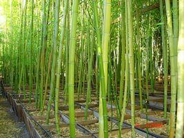 30 Box Vivax Green Timber