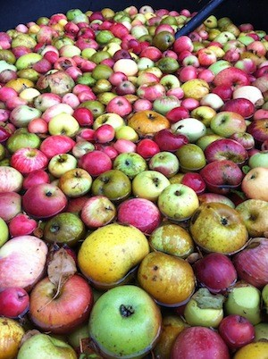tannic cider apples